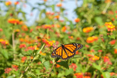 Monarch butterfly on orange lantana flowers Royalty Free Stock Photos