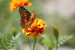 Monarch butterfly on orange marigold. Orange monarch butterfly is sitting on orange marigold and eating nectar royalty free stock photo