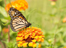 Monarch butterfly on an orange Zinnia Stock Photography