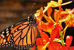 Monarch butterfly on orchid. Monarch butterfly perched on orange orchid Royalty Free Stock Photography