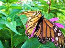 Wings of Life Solitude. This is a Monarch butterfly out in life on a flower in the country royalty free stock photo