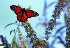 Monarch`s Launch. A monarch butterfly with outstretched wings landed on a plant outside stock photos