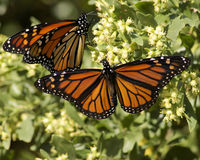 Monarch Butterfly pair. Two Migrating  Monarch Butterflies one with wings open and one with wings closed Stock Photography