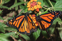 Monarch Butterfly pair feeding royalty free stock photography