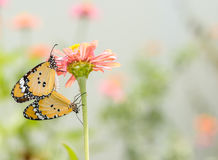 Monarch butterfly  pairing on flower Stock Image