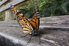 Monarch butterfly on park bench Stock Photo