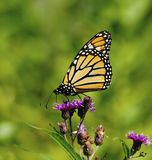 Monarch Butterfly patterns