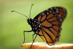 Monarch butterfly perched on apple. Slice, close up image, green background stock photo