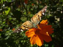Monarch Butterfly Perched on a Flower. A monarch butterfly with open wings perched on an orange flower stock photo