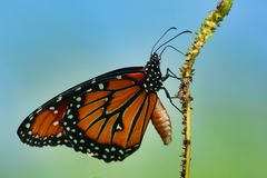 Close up of a Monarch Butterfly. Monarch butterfly perched on a grass stem stock photography