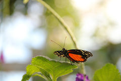 Monarch Butterfly. Perched on a green leaf Royalty Free Stock Image