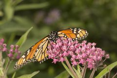 Monarch butterfly perched on milkweed flowers in Vernon, Connect. Monarch butterfly, Danaus plexippus, perched on milkweed flowers at the Belding Wildlife royalty free stock image