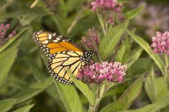 Monarch butterfly perched on milkweed flowers in Vernon, Connect. Monarch butterfly, Danaus plexippus, perched on milkweed flowers at the Belding Wildlife stock photography