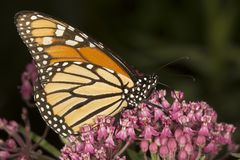 Monarch butterfly perched on milkweed flowers in Vernon, Connect. Side view of a monarch butterfly, Danaus plexippus, perched on milkweed flowers at the Belding stock photography