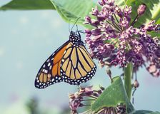 Monarch butterfly on pink swamp milkweed flowers. Monarch butterfly perched on pink swamp milkweed flowers stock images