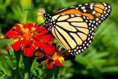 Monarch Butterfly. Perched on a red flower. Rosetta McClain Gardens, Totonto, Ontario, Canada Stock Image