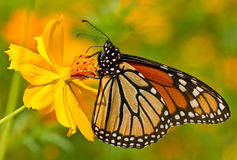 Monarch butterfly perched on yellow flower. In the garden a Monarch butterfly rests on a colorful flower royalty free stock images