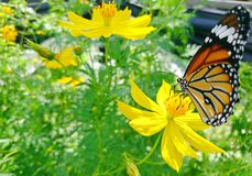 A Monarch Butterfly perched on a yellow flower in the garden Stock Images