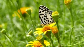 Butterfly perched on a yellow flower. Monarch butterfly perched on a yellow flower in tropical rain forest stock video footage