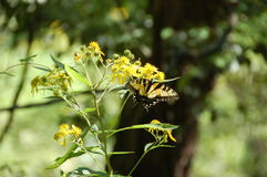 Monarch Butterfly Perched on Yellow Flowers - Difficult Run Trail, VA Stock Photography