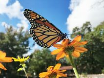Monarch Butterfly Perched on a Zinnia Flower. A beautiful adult monarch butterfly with its wings up so you can see the underside pattern. It is gathering nectar stock image