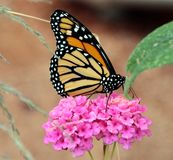 Monarch Butterfly. Photo taken in Arizona. Black and orange royalty free stock photos
