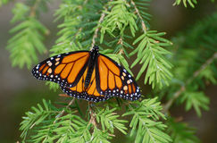 Monarch Butterfly on a pine bough Royalty Free Stock Photos