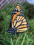 Monarch Butterfly on a pine bush. Orange black and white monarch butterfly sits in a pine needle Bush stock photos