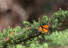 Monarch butterfly resting on an evergreen tree branch royalty free stock image