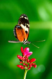 Monarch butterfly on pink flower Stock Photos