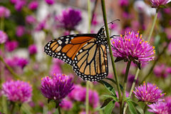 Monarch butterfly on pink flower. In the garden Stock Photos