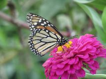 Monarch Butterfly on Pink Flower. Monarch butterfly pink flower spring insects garden summer outside sunshine colorful stock photo