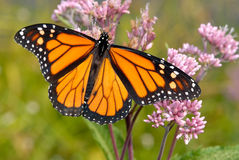 Monarch butterfly. On pink flowers royalty free stock photo