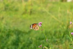 A monarch butterfly with pink small flowers. A monarch butterfly with pink small flowers in green garden royalty free stock photography