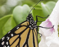 Monarch Butterfly on Pink and White Flower Royalty Free Stock Images