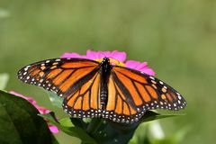 Monarch Butterfly. A Monarch Butterfly on a pink Zinnia stock photos