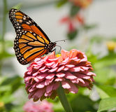 Monarch butterfly on pink Zinnia Stock Photography