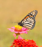 Monarch butterfly on a pink Zinnia Stock Photo