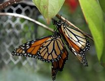 Monarch butterfly on a plant. Monarch butterfly hanging on a leaf stock image