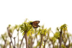 Monarch butterfly on plants. Isolated on white background royalty free stock photos