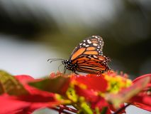 A Monarch Butterfly on a Poinsettia. A Monarch butterfly feeding on a Poinsettia flower in full sun Stock Image