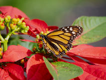 A Monarch Butterfly Stock Photos