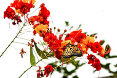 Monarch Butterfly with pollen on Pride of Barbados Flower. A Monarch butterfly with pollen on his wings getting some more on a pride of Barbados flower Royalty Free Stock Image