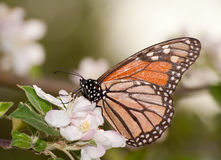 Monarch butterfly pollinating an apple blossom. In early spring stock photo