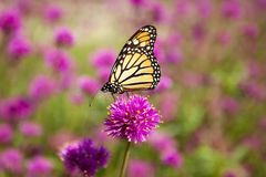 Monarch Butterfly Pollinating Pink Flower. A Monarch butterfly pollinating a bright pink Globe Amaranth `Fireworks` in a flower garden royalty free stock images