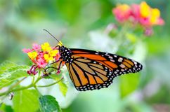 Monarch butterfly pollinating a flower. A delicate monarch butterfly rests on a colorful flower, and helps to pollinate the floral and fauna in the garden royalty free stock photos