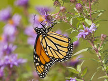 Monarch Butterfly Pollinating a New England Aster Stock Photo