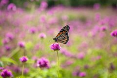 Monarch Butterfly Pollinating Pink Flower. A Monarch butterfly pollinating a bright pink Globe Amaranth `Fireworks` in a flower garden royalty free stock photo