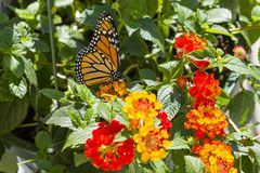 Monarch Butterfly Pollinating Red Lantana Portrait. Lantana, a bush with vibrant mini bouquets of flowerets, is a favorite of Monarch butterflies, as is seen stock image