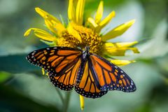 Monarch Butterfly. A monarch butterfly pollinating a yellow daisy royalty free stock photos